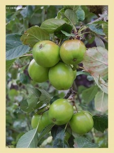 Apples on Tree 224x300 What to Eat for Heartburn   Five Foods to Stop Heartburn